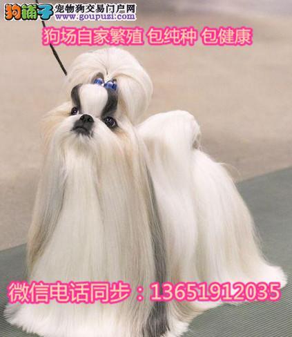 品小体西施犬 尊贵犬种,高端伴侣犬 玩赏犬