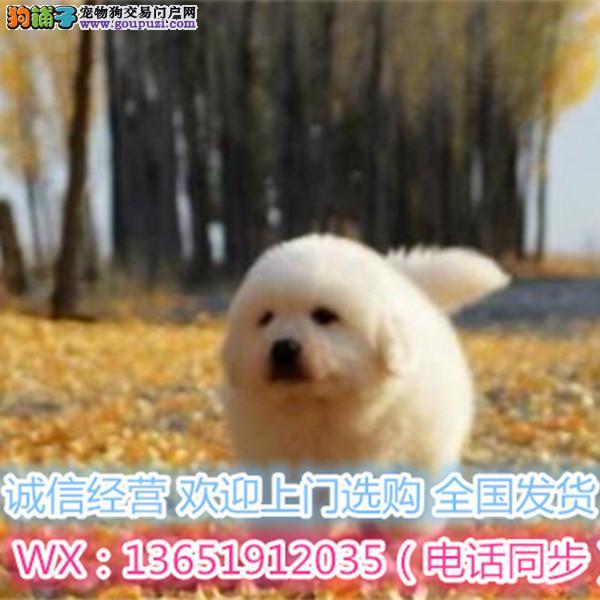 高品质大白熊犬 基地直销 保纯种健康 欢迎实地挑选