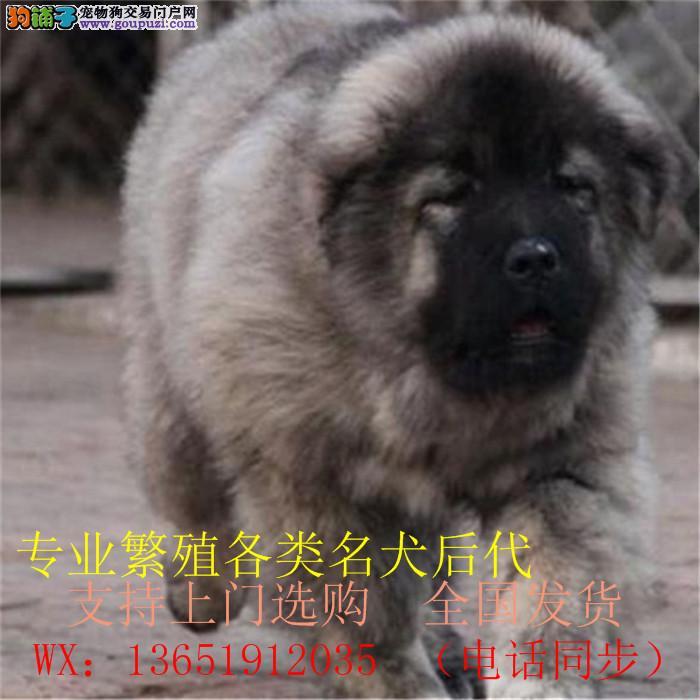 巨型熊版狮子头高加索犬看家护院能手 多窝选