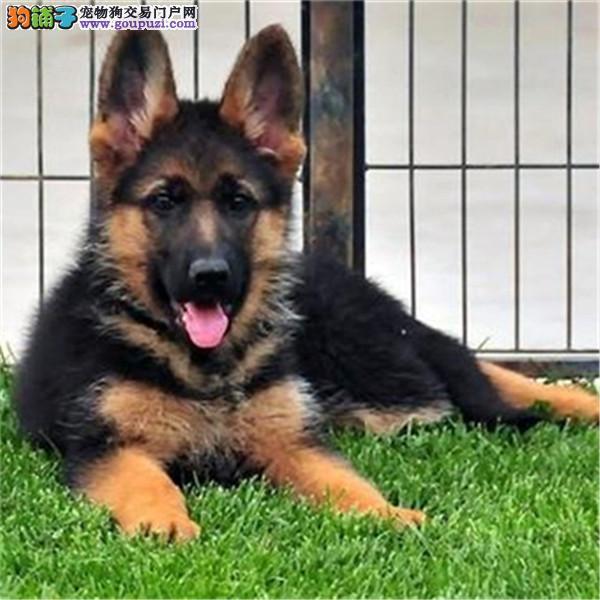 高品质德国牧羊犬基地直销 保纯种健康 欢迎实地挑选