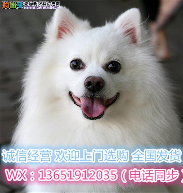 日本尖嘴银狐幼犬 温和聪明 好机灵 保证纯种健康