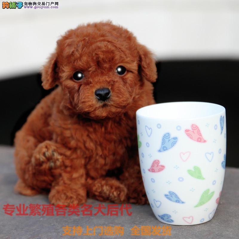 韩国引进专业繁殖精品泰迪 纯种品质保证