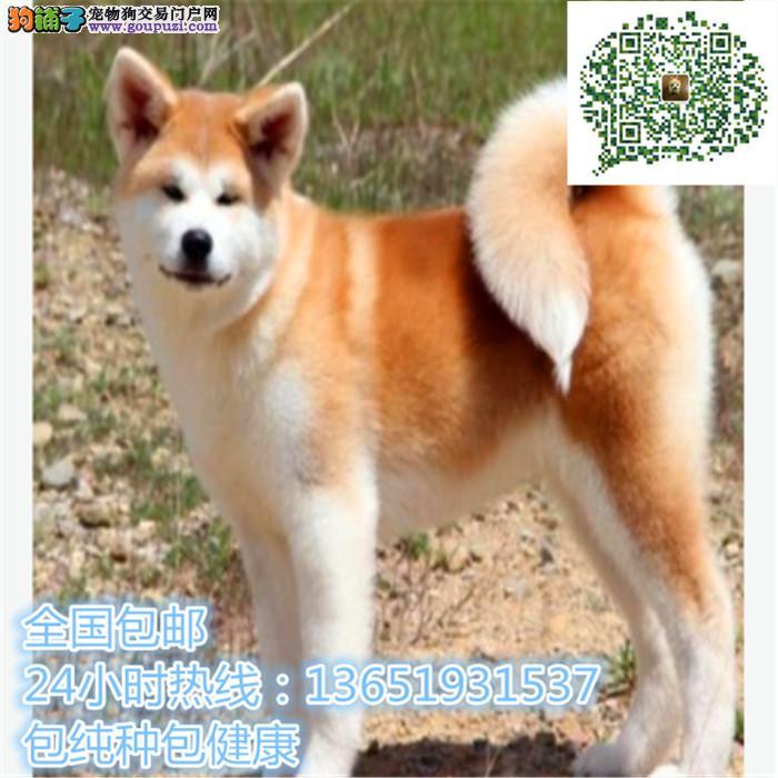 精品秋田犬,支持上门看狗狗,包健康纯种包养活
