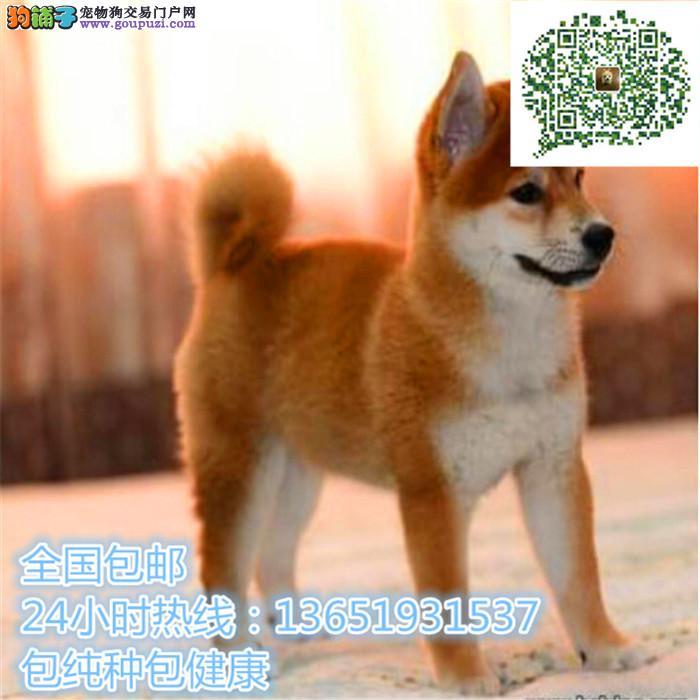 精品柴犬,支持上门看狗狗,包健康纯种包养活