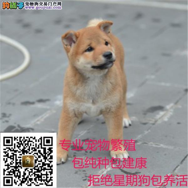 忠诚可靠的漂亮柴犬个性机敏 独立 身体强健的幼柴犬