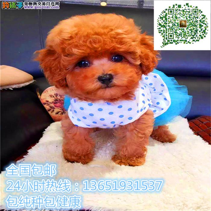 茶杯犬博美幼犬包纯种健康自家繁殖包3月