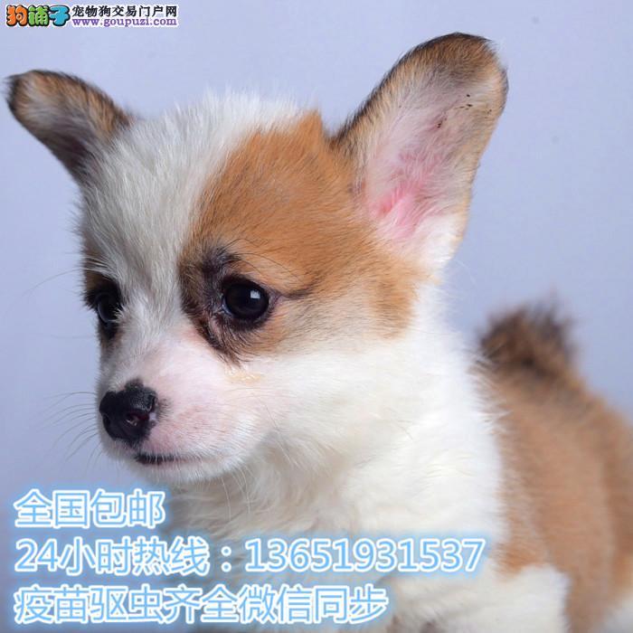 出售纯种意大利护卫犬卡斯罗幼犬 猛犬卡斯罗 包健康