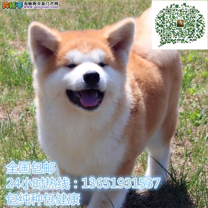日系秋田纯种柴犬包纯种保健康
