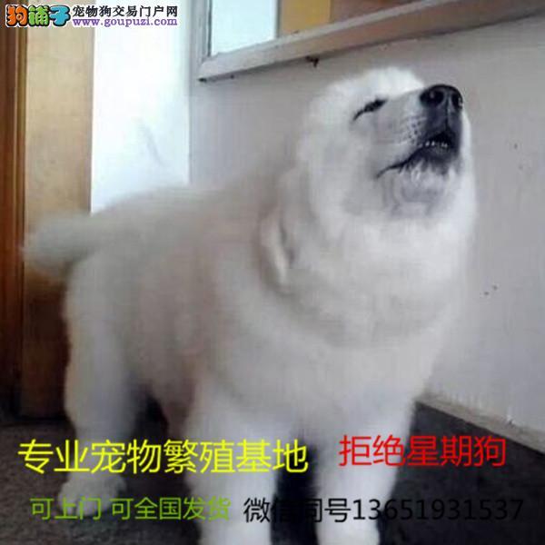 大白熊幼犬 自家狗场繁殖价格实惠 可直接视频挑选
