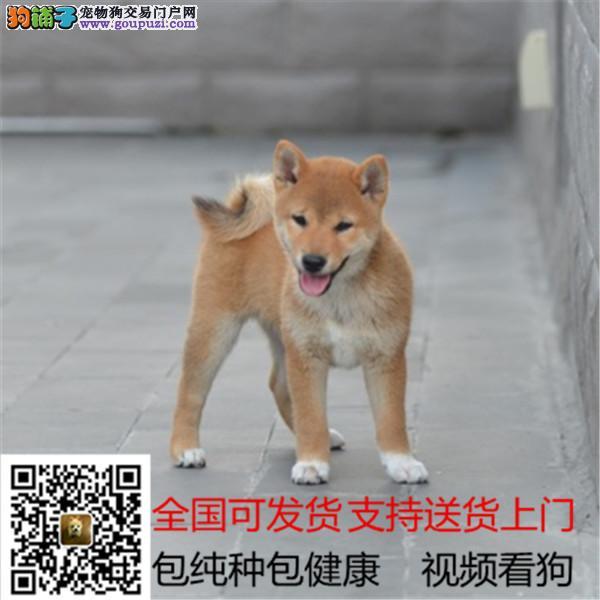 忠诚可靠的柴犬机敏独立身体强健的幼犬