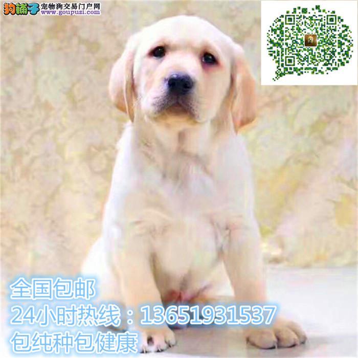 拉布拉多高品质cku幼犬颜色均有