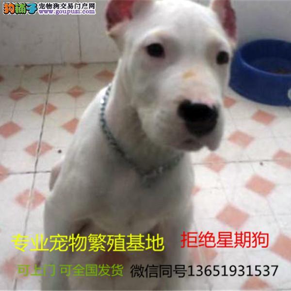 赛级杜高精品幼犬 纯种健康
