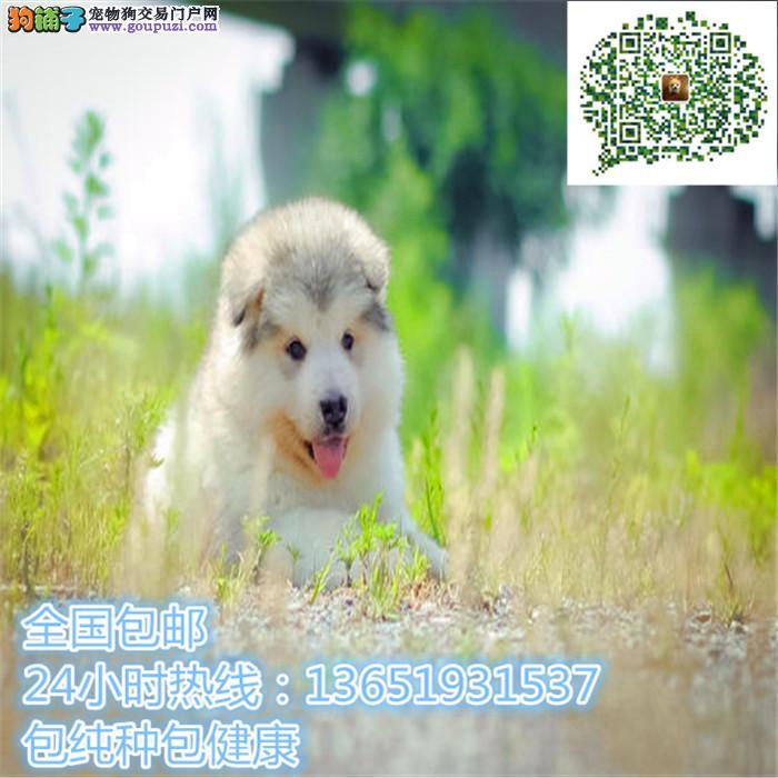 熊版阿拉斯加精品幼犬 颜色均有