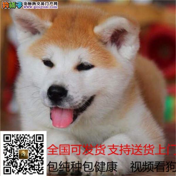 纯种日系柴犬 终身质保 强大售后保障