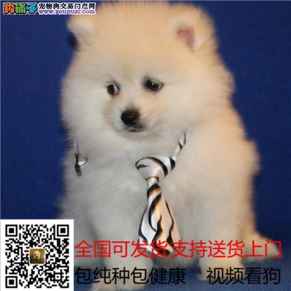 雪白萨博天使一般的毛色精品幼犬终身质保
