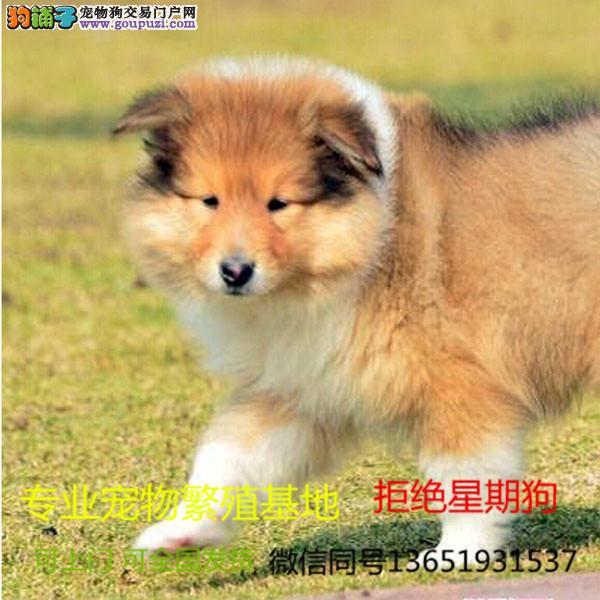 苏牧幼犬 自家狗场繁殖价格实惠 可直接视频挑选