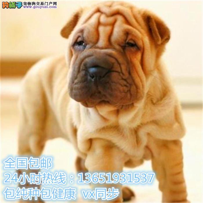 可爱沙皮幼犬适应能力强 血统纯正