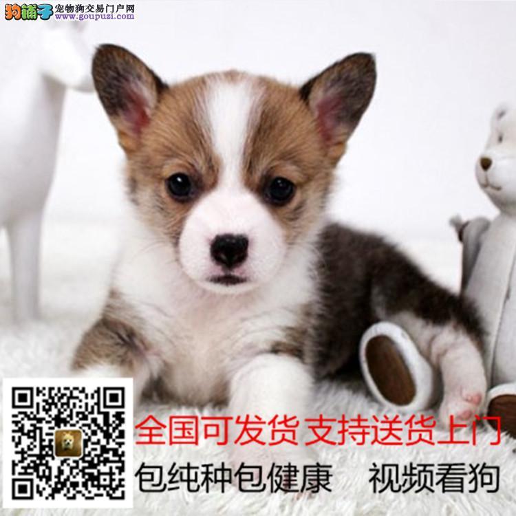 顶级精品威尔士柯基犬出售疫苗做齐多只可选保健康