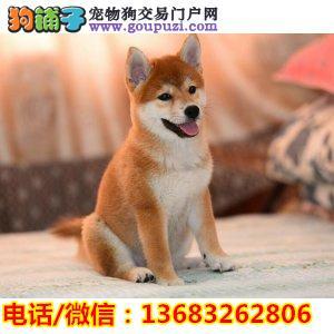 纯种日系柴犬丨血统纯正健康包活丨签署质保合同