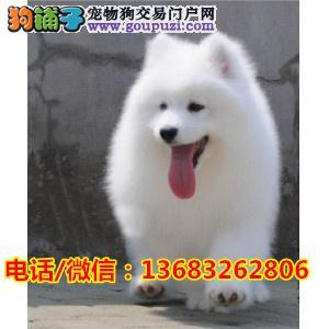 微笑天使萨摩耶犬,多窝,纯种健康,价格公道