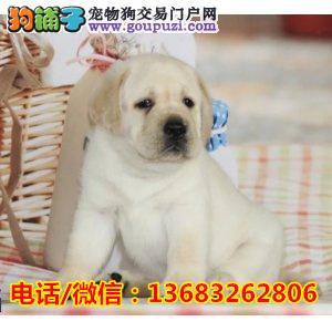 血统纯正 拉布拉多出售 嘴宽骨量毛量大 健康保证狗