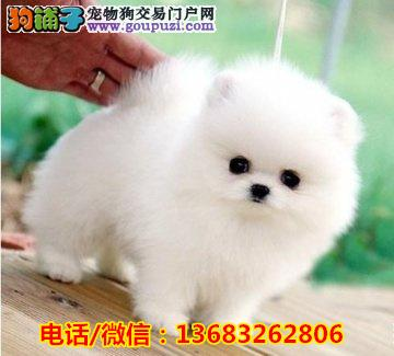 哈多利球型博美 俊介 保健康 北京可以免费送货