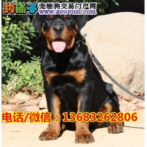 警用级罗威纳 德系罗威纳幼犬 顶级护卫犬