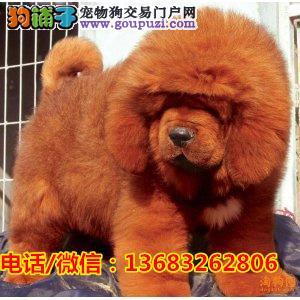 长毛大狮头纯种藏獒,红獒,铁包金均有,欢迎来看狗