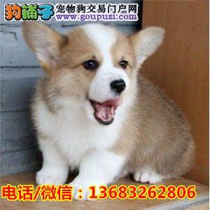 自家繁殖纯种威尔士小短腿柯基幼犬出售 健康有保障