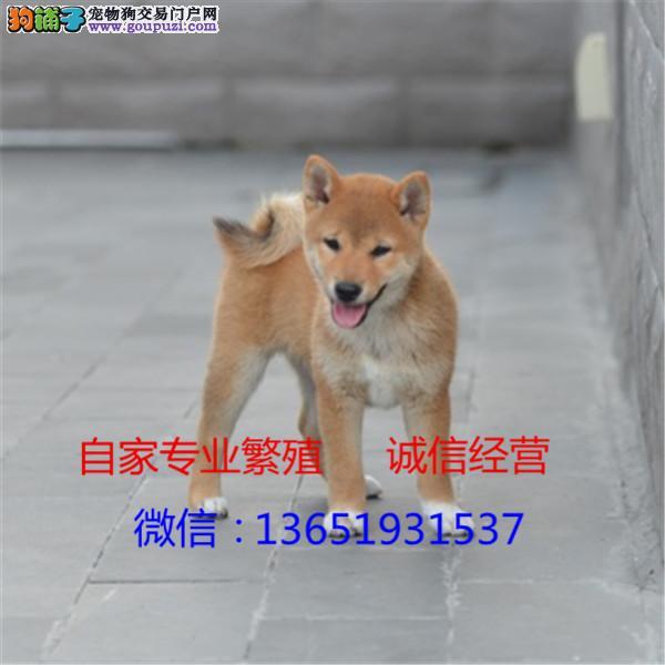高品质出售柴犬宠物狗狗 保纯种 保健康