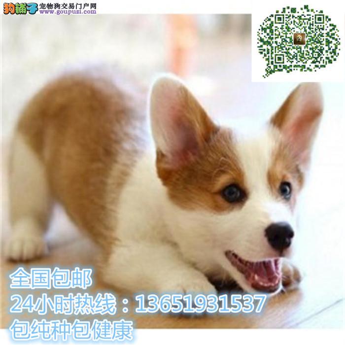 高品质出售柯基宠物狗狗 保纯种 保健康