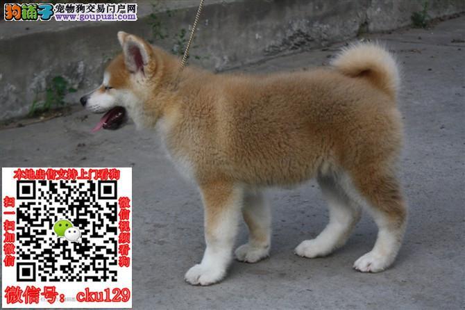 犬舍出售柴犬纯种健康的柴犬幼犬