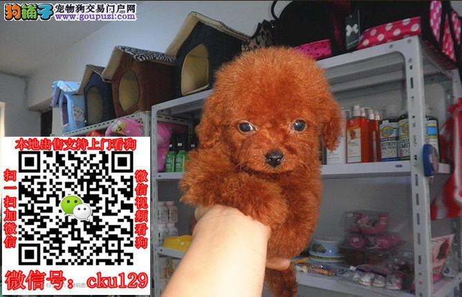 郑州泰迪犬养殖基地郑州泰迪犬哪里去买郑州泰迪价格