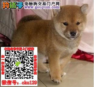 郑州柴犬的价格是多少郑州哪里卖纯种柴犬