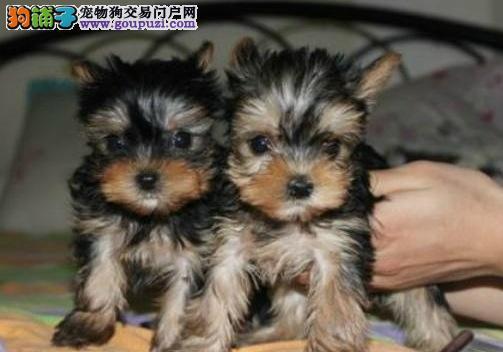 泰州市品质保证约克夏两三个月的小狗>泰州