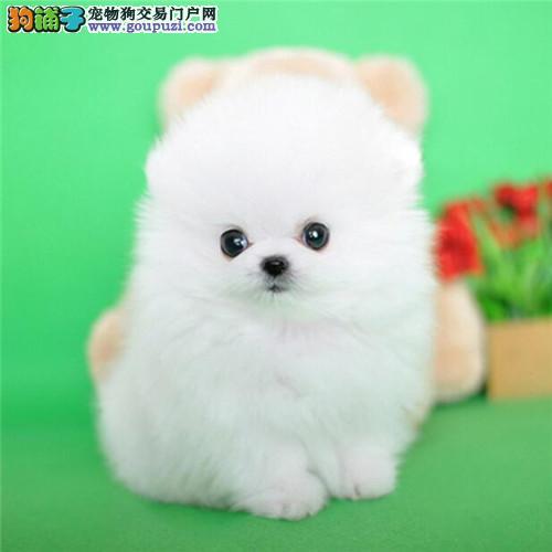 哈多利俊介幼犬幼崽出售、博美袖珍迷你茶杯宠物狗健康