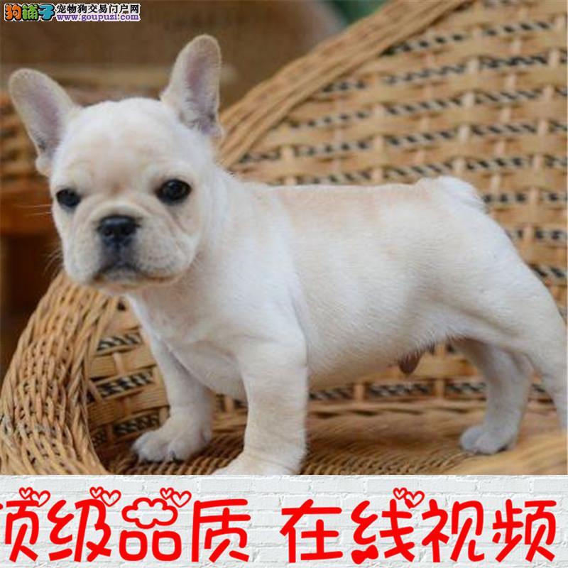 本狗场专业繁殖法国斗牛犬 欢迎前来看狗