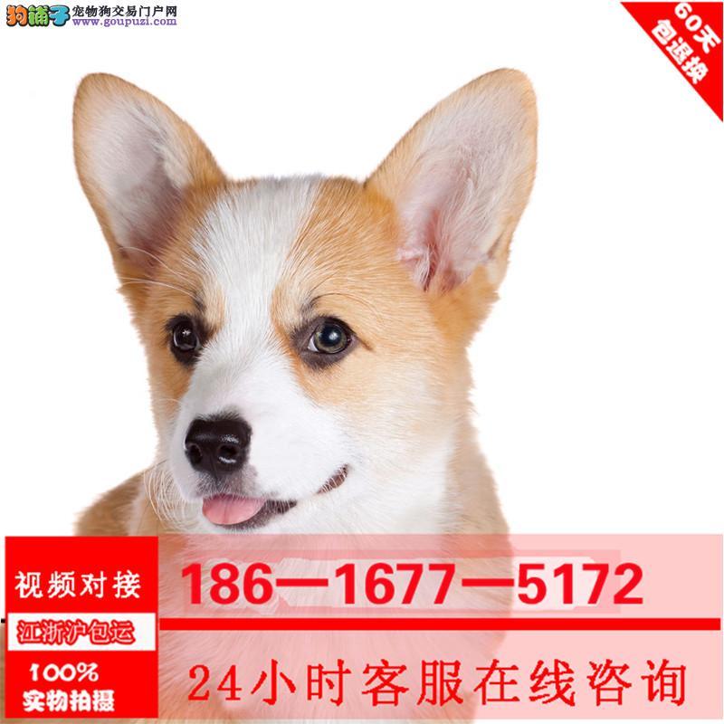 纯种柯基犬幼犬威尔士两色三色柯基宝宝