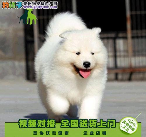 纯种萨摩耶幼犬出售微笑天使萨摩品相佳