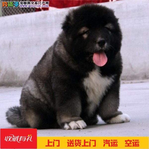纯种高加索 猛犬高加索幼犬保证纯种健康