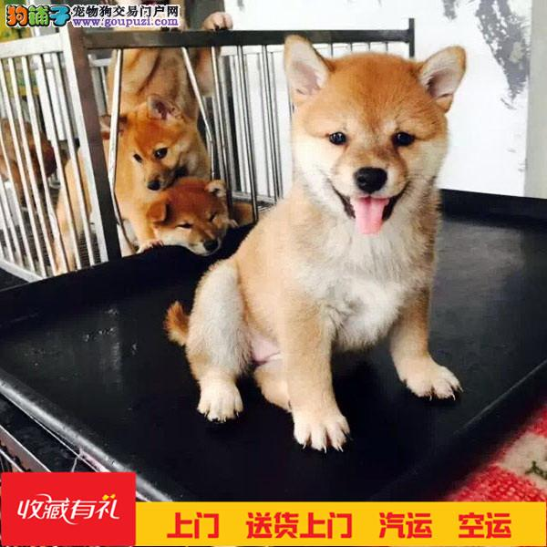 日系柴犬纯种幼犬出售 高品质健康