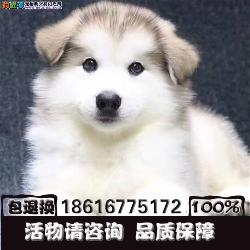 强力推荐纯种阿拉斯加犬超帅气超大形体