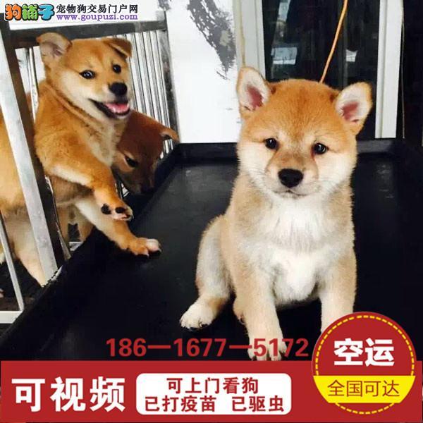 正规狗场 日本柴犬基地 三个月包退换