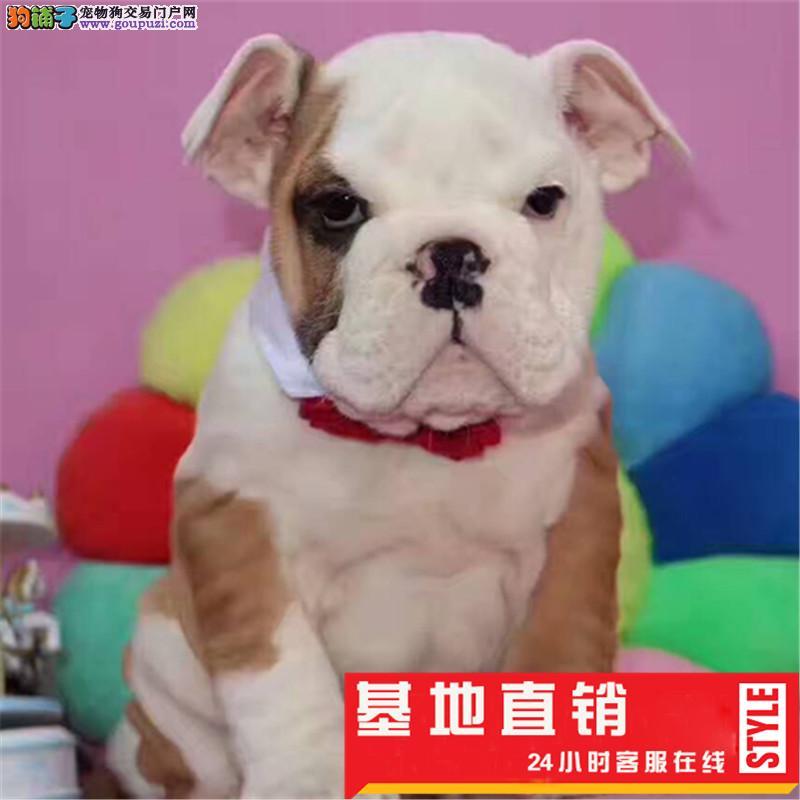 高端英国斗牛犬繁育专家出售英牛犬法牛幼犬出售