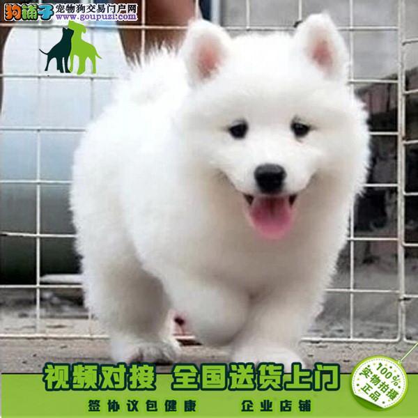 常年出售澳版萨摩幼犬 骨量 毛量 品相到位