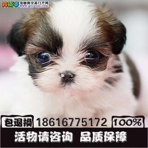 出售西施犬幼犬 纯种健康有保障 签订