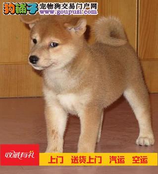 日本宠物狗日系柴犬纯种幼犬出售高品质