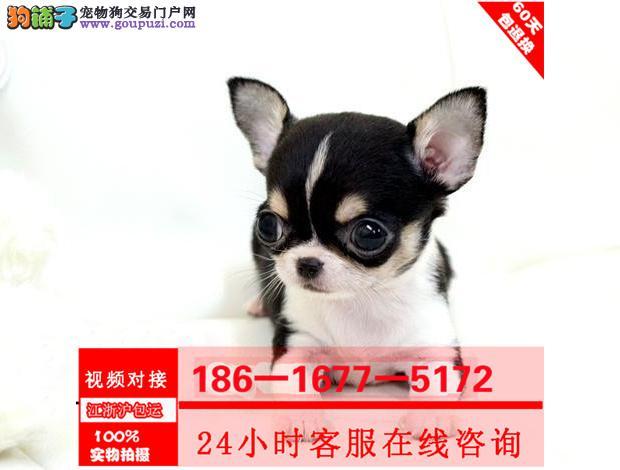 精品小体吉娃娃幼犬纯种健康可签订协议