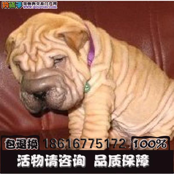 可爱的沙皮幼犬 皱脸沙皮 适应能力强