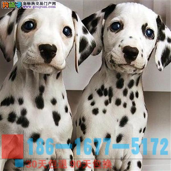 精品斑点幼犬 CKU认证血统 质量三包
